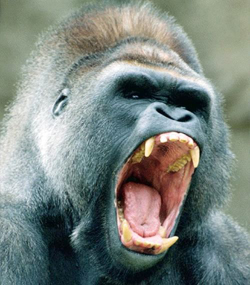 angry_gorilla_small